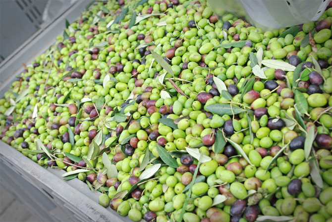 frische Oliven in der Toskana
